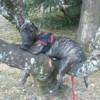 Logan, chien Bull Terrier