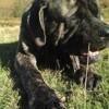 Loki, chien Mastiff