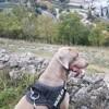 Loki, chien Braque de Weimar