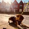 Loki, chien Beagle