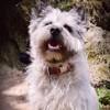 Lol, chien Cairn Terrier