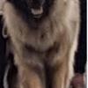 Lolita, chien Leonberger