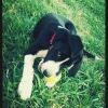 Lou, chien Braque français