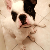 Loucas, chien Bouledogue français