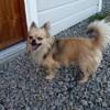Loulou, chien Chien courant italien