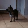 Loustic, chien Berger belge