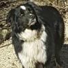 Loustic, chien Border Collie