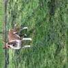 Lovana Des Bull De Champagne, chien Bull Terrier