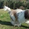 Lubsko, chien Berger polonais de plaine