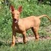 Lucky, chien Chien du pharaon