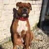 Lucky, chien Boxer