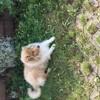 Lucky, chien Husky sibérien