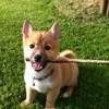 Luffy, chien Shiba Inu