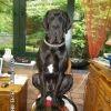 Lug Rip, chien Dogue allemand