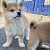Lugi, chien Shiba Inu