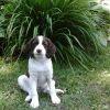 Luna, chien Épagneul breton