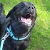 Luna, chien Labrador Retriever
