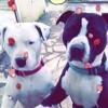Luna, chien American Staffordshire Terrier