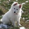 Luno, chien Berger blanc suisse