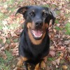 Luthor, chien Beauceron