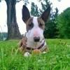 Lyra, chien Bull Terrier