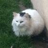 Mabelle, chat Européen