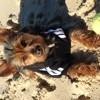 Mac, chien Yorkshire Terrier