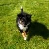 Mac Glory, chien Berger des Shetland