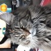 Madelynn, chat Maine Coon