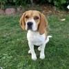 Maggie, chien Beagle