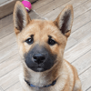 Maho, chien Shiba Inu