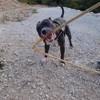 Maika, chien Staffordshire Bull Terrier