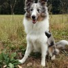 Maika, chien Berger des Shetland