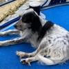 Maika, chien Setter anglais