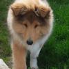 Maina, chien Colley à poil long