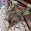 Photo de Neige, chaton Maine Coon - 406422