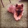 Maivy, chien Eurasier