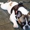 Maya, chien Bouledogue français
