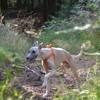 Maki, chien Whippet