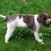 Malia, chien Chien d'eau romagnol