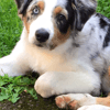 Malika, chien Berger australien