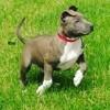 Malko, chien American Staffordshire Terrier