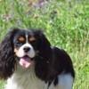 Malo, chien Cavalier King Charles Spaniel
