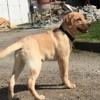 Mandjo, chien Labrador Retriever