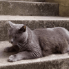 Manhattan, chat Chartreux