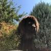 Margot, chien Terre-Neuve