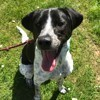 Marley, chien Pointer anglais