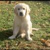 Marley, chien Golden Retriever