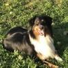 Marley, chien Berger australien