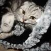 Marshmallow, chat Scottish Fold